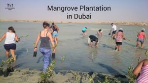 mangrove plantation in Dubai