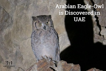 <a class=&quot;amazingslider-posttitle-link&quot; href=&quot;http://www.sustainabilitytribe.com/arabian-eagle-owl-is-discovered-in-uae/&quot;>Arabian Eagle-Owl Is Discovered In UAE</a>